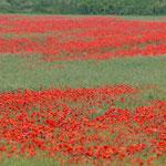 Riesige Klatschmohn-Felder wecken bereits bei der Anfahrt nach Szentendre provencalische Gefühle