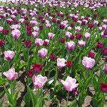 Der Frühling kommt in Lettland mit aller Macht