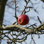 Ein letzter Apfel leuchtet in der Herbstsonne