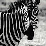 Zebra, Foto auf AluDibond butlerfinish, Stephan Luft