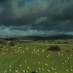 die schönen weißen Tupfer auf der Wiese sind alles Schafe