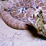 .....hat die meisten Rattle Snakes der Welt