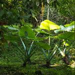 Diese Riesenblätter bieten leicht einer Person Schutz vor Regen