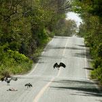 "Geier ""säubern die Strasse von ""Überfahrenem"""