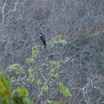 Und ein Falke wartet auf seine Beute - die Papageiensittiche.