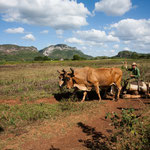 Schlitten und Ochsen als Transportmittel