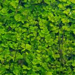Diese tollen Grünpflanzen wachsen unter Wasser - der Rio Lobo ist glasklar...