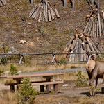 ....Hippie und Elk Kuh