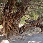 Dieser Olivenbaum ist über 300 Jahre alt