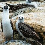 ...die Blaufuss-Tölpel gibt es auch haufenweise auf den Galapagos Inseln...
