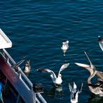 Und schon hat der Pelikan wieder Hunger