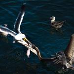 Kampf zwischen Pelikan und Möwe
