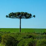 """...vor allem dieser """"Sonnenschirm-Baum"""" hat es uns angetan..."""