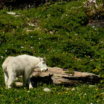 "eine ""White Mountain Goat"""