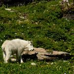 """eine """"White Mountain Goat"""""""
