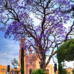 Der Jacaranda blüht im März / April in ganz Mexico