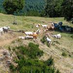 ...bezüglich Fauna gab es nur Ziegen und Schafe.