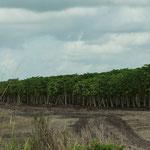 Hier eine Papaya Plantage