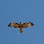 Ein Fischadler