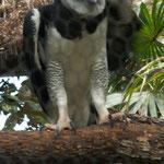 ....ein junger Adler.....