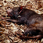 der tasmanische Teufel