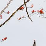 der Kardinalvogel (oben)