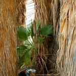 """die Palmen behalten ihr """"Stroh"""""""