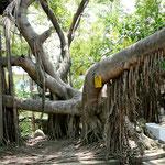 """Auf der """"Isla Rio Cuale"""" gibt solche exotische Bäume...."""