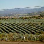 Agavenfelder soweit das Auge reicht