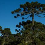 ...die für uns exotischen Araukarienbäume - sehen aus wie überdimensionale Regenschirme...