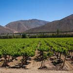 ...das ganze Elqui-Tal sind Weingärten.