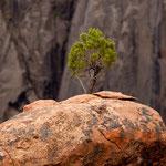 .... ein Bonsai auf hartem Fels.