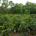 ....Kaffeepflanzen geschützt von hohen Hecken.....
