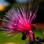 Ihr toller Garten beherbergt diese sagenhaften Blüten (ein tropischer Baum).....