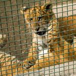 junge Löwen-Tiger Mischlinge sind einmalig für Argentinien...