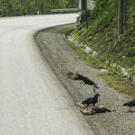 Alles was auf der Strasse überfahren wird entsorgen die Geier.....