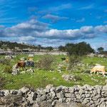 ...unendlich viele Steinmauern erinnern an Irland...