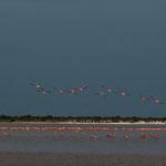 """....am Abend """"leuchten"""" die Flamingos besonders...."""