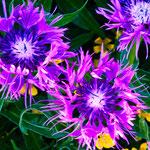 ...eine wahre Pracht - das sind Wildblumen...