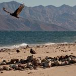 """Ein Geier und im Hintergrund die Halbinsel """"Punta Don Juan"""""""
