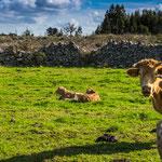 diese Kühe mit ihren Kälbchen leben artgerecht...