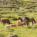 ...Islandpferde sehen wir mehr als Rinder...