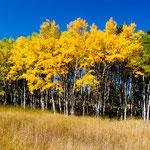 Birken in den schönsten Herbstfarben