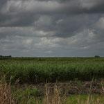 riesige Zuckerrohr Plantagen....