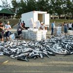 ...Jubelschreie der sicherlich nicht reichen Fischer haben diesen tollen Fang begleitet...