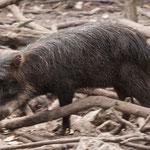 ....ein Pekari.....das Wildschwein von Belize.....