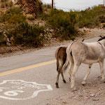 ...und tatsächlich - wilde Esel nutzen die berühmte Strasse ebenfalls