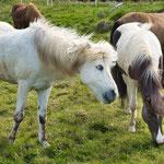 ...und immer wieder faszinieren uns die wilden Islandpferde - die so sanft galoppieren...