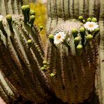 blühende Saguaro