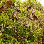 ein ganzer Baum voller Flughunde